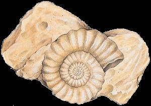 1000760-ammonite
